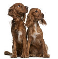 Spaniels di Cocker americani Immagine Stock