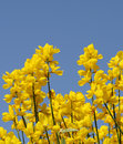 Spanish broom Royalty Free Stock Images
