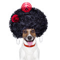 Spanish dog flamenco with very big curly hair and big smile Royalty Free Stock Photo