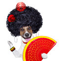 Spanish dog flamenco with very big curly hair and hand fan Royalty Free Stock Photo