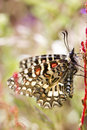 Spanish festoon butterfly (Zerynthia rumina) Stock Image