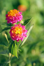 Spanish Flag (Lantana) Stock Photos