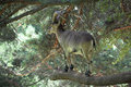 Spanish ibex a male over a branch tree Royalty Free Stock Images