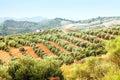 Spanish landscape with Olives plant Royalty Free Stock Photo