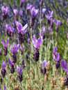 Spanish lavender in bloom detail of Royalty Free Stock Photos
