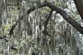 Spanish Moss Stock Photos