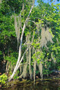Spanish Moss in the Bayou Royalty Free Stock Photo