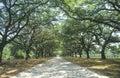 Spanish moss covered oak trees lining a plantation road, SC
