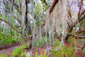 Spanish moss everglades national park sways in the breeze along the coastal prairie trail of florida Stock Images