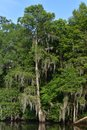 Spanish Moss Hanging From a Tree in the Bayou Royalty Free Stock Photo