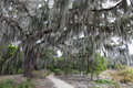 Spanish moss hangs on the live oak by the trail tree Royalty Free Stock Images