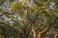 Spanish moss in massive old oak trees draped huge ancient live southern united states Royalty Free Stock Image