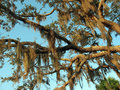 Spanish Moss Southern Foliage Royalty Free Stock Photography