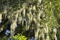 Spanish moss (Tillandsia usneoides) Royalty Free Stock Photos