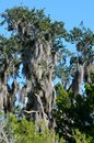 Spanish moss on a tree at the marshlands of st augustine florida with a wood stork bird on the tree branch Stock Photography