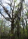 Spanish moss trees Royalty Free Stock Photo