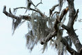 Spanish Moss2 Royalty Free Stock Photography