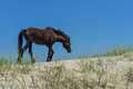 Spanish mustang wild horse on the dunes in north carolina Royalty Free Stock Photo