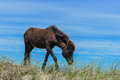 Spanish mustang wild horse on the dunes in north carolina Stock Photo