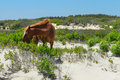 Spanish mustang wild horse on the dunes in north carolina Royalty Free Stock Photography