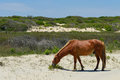 Spanish mustang wild horse on the dunes in north carolina Stock Image