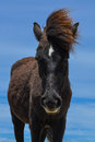 Spanish mustang wild horse in north carolina Royalty Free Stock Photography
