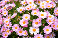 Spanish Pink Daisies Stock Photo