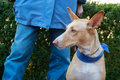 Spanish podenco with owner dog outdoor Royalty Free Stock Image