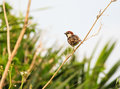 Spanish sparrow resting on a branch in sicily Royalty Free Stock Image