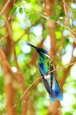Sparkling violet ear hummingbird Royalty Free Stock Photos