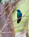 Sparkling Violetear Hummingbird Royalty Free Stock Images