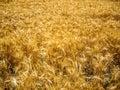 Sparkling wheat sunlit on a california field Stock Photos