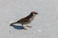 Sparrow on asphalt Royalty Free Stock Images