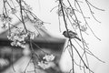 Sparrow bird on the cheery blossom tree black and white Royalty Free Stock Photo