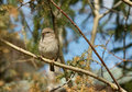 Sparrow bird sitting on a branch Royalty Free Stock Image