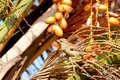 Sparrow Bird sitting on a palm tree trunk next to the fruit dates he likes to eat Royalty Free Stock Photo
