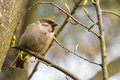 Sparrow on a branch sitting in the forest Royalty Free Stock Image