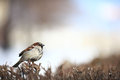 Sparrow in the bushes wildlife wing winter zoology Royalty Free Stock Images
