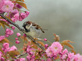 Sparrow in a cherry blossom