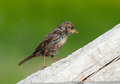 Sparrow chick Royalty Free Stock Images