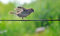 Sparrow dancing on a rope Royalty Free Stock Photo