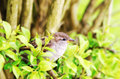 Sparrow detail of a small hiding in a shrub Royalty Free Stock Image