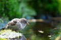 Sparrow drinking water Royalty Free Stock Photo