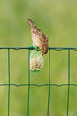 A sparrow is eating Stock Images