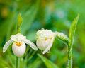 Sparrow egg lady slipper cypripedium passerinum spotted ladyslipper or franklin after rain Stock Images