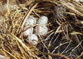 Sparrow eggs in a nest lie Royalty Free Stock Photography