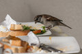 Sparrow feeding on leftovers in restaurant Stock Photography