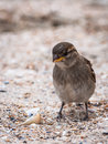 Sparrow female bird on beach close up near seashell the sparrows are a family of small passerine birds passeridae they are also Royalty Free Stock Photos