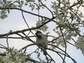 Sparrow on a flowering cherry tree branch