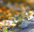 Sparrow on the ground in leaves autmn Royalty Free Stock Images